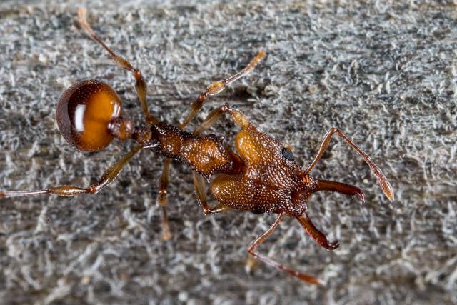 Goblin Ant