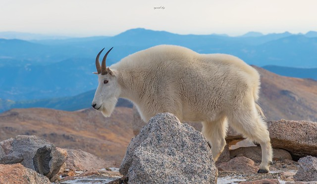 Mountain goat Encounter