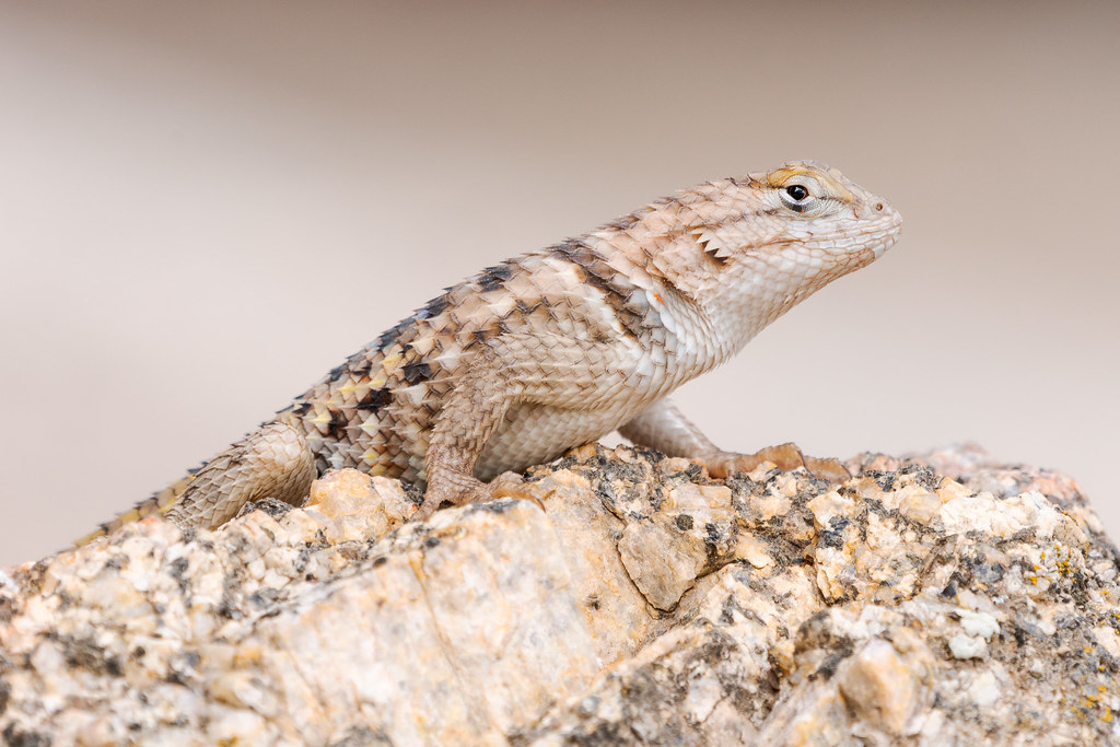 A desert spiny lizard perches on a small rock beside Cathedral Rock in McDowell Sonoran Preserve in Scottsdale, Arizona