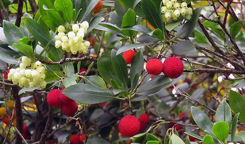 The red fruits of a Strawberry tree