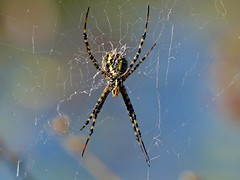 Banded Garden Spider (Argiope trifasciata)