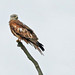 A Red Kite on a stick. (Milvus milvus). by Spenature 2.