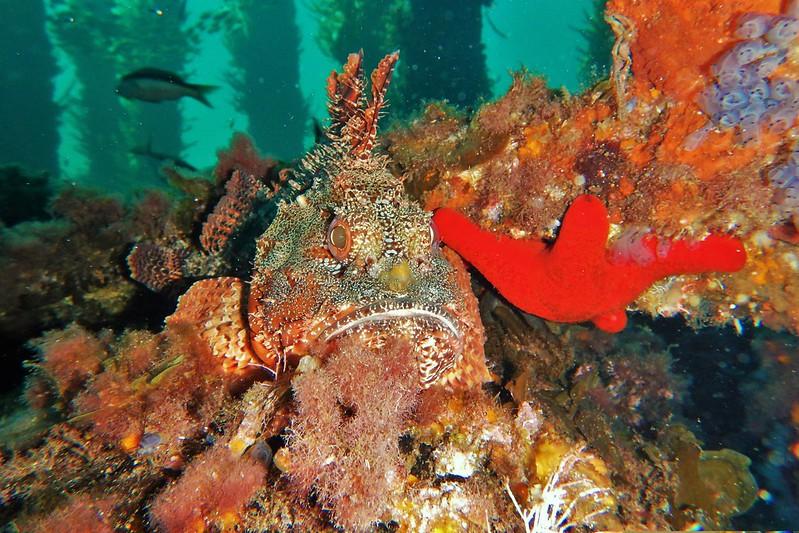 Red Scorpion Cod