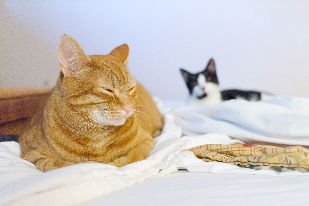 Our cat Sam sleeps on the bed as our kitten Boo looks at him from behind