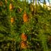 pine cones3