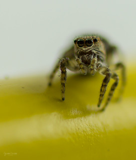 jumping spider  -_MG_4186