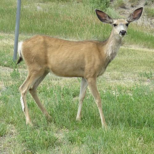 Mule Deer (Hanna, Wyoming)