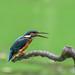 Kingfisher 180924039.jpg