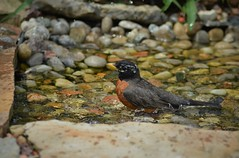 American Robin by Jackie B. Elmore 4-27-2014 Lincoln Co. KY