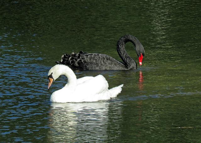 Black Swan - Cygnus atratus and Mute Swan - Cygnus olor