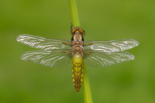Broad-bodied Chaser (Libellula depressa) | by Wildlife Photography by Matt Latham