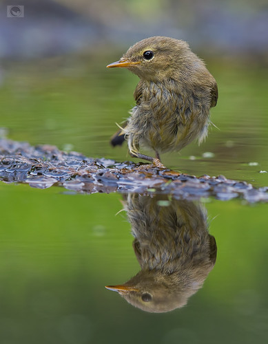 IMG_Common chiffchaff | by Weja 68