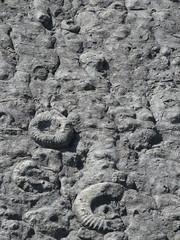 Ammonites (Coroniceras multicostatum) - Dalle aux Ammonites (Digne-les-Bains, Francia) - 08