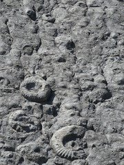 Ammonites (Coroniceras multicostatum) - Dalle aux Ammonites (Digne-les-Bains, Francia) - 08 - Photo of Champtercier