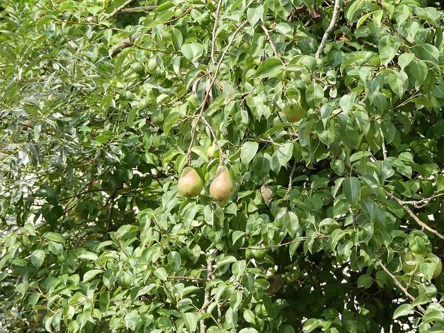 Birnen in der Nasenbäranlage, Zoo Givskud