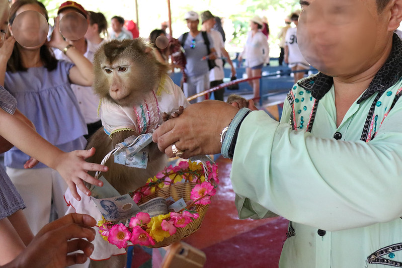 macaque dressed up to beg for tips 1