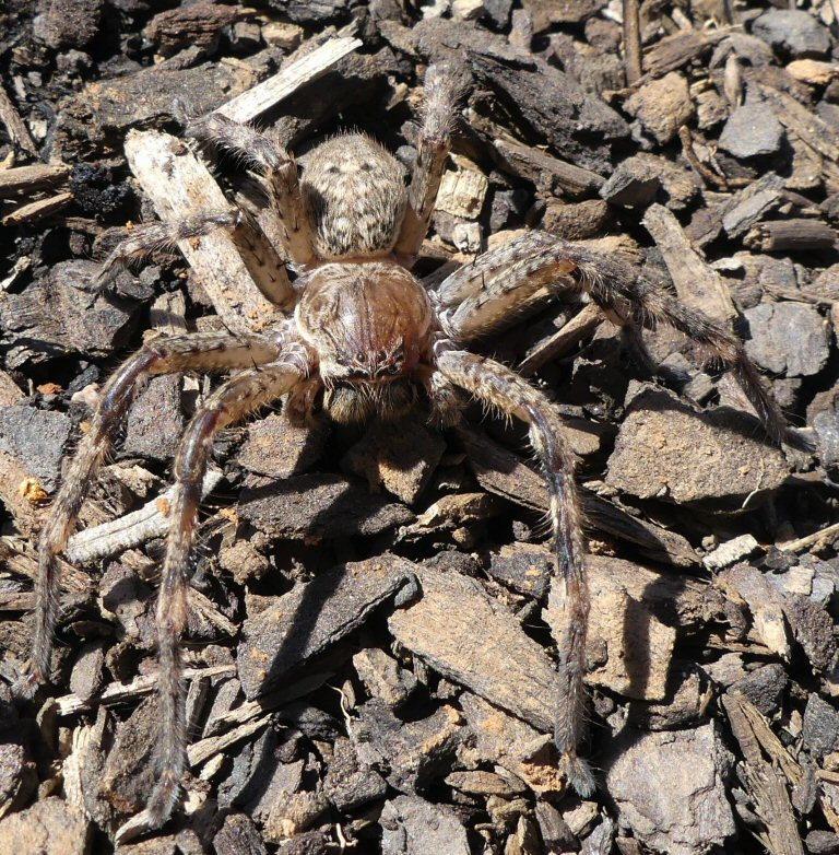 Social Huntsman Spider - Delena cancerides (Sparassidae) (4)