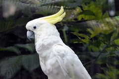Yellow-crested cockatoo - Cacatua sulphurea