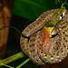 Red-necked keelback - Rhabdophis subminiatus by tajong
