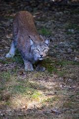 sneeking Lynx