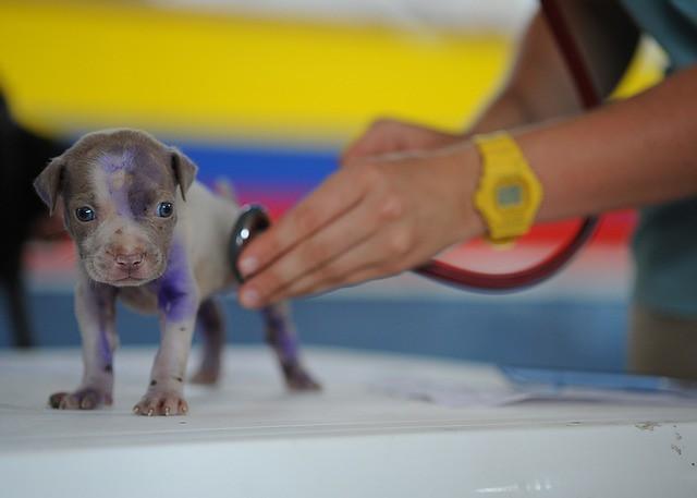 咳で動物病院に来た子犬