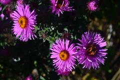 SYMPHYOTRICHUM novae-angliae 'Wineflower'
