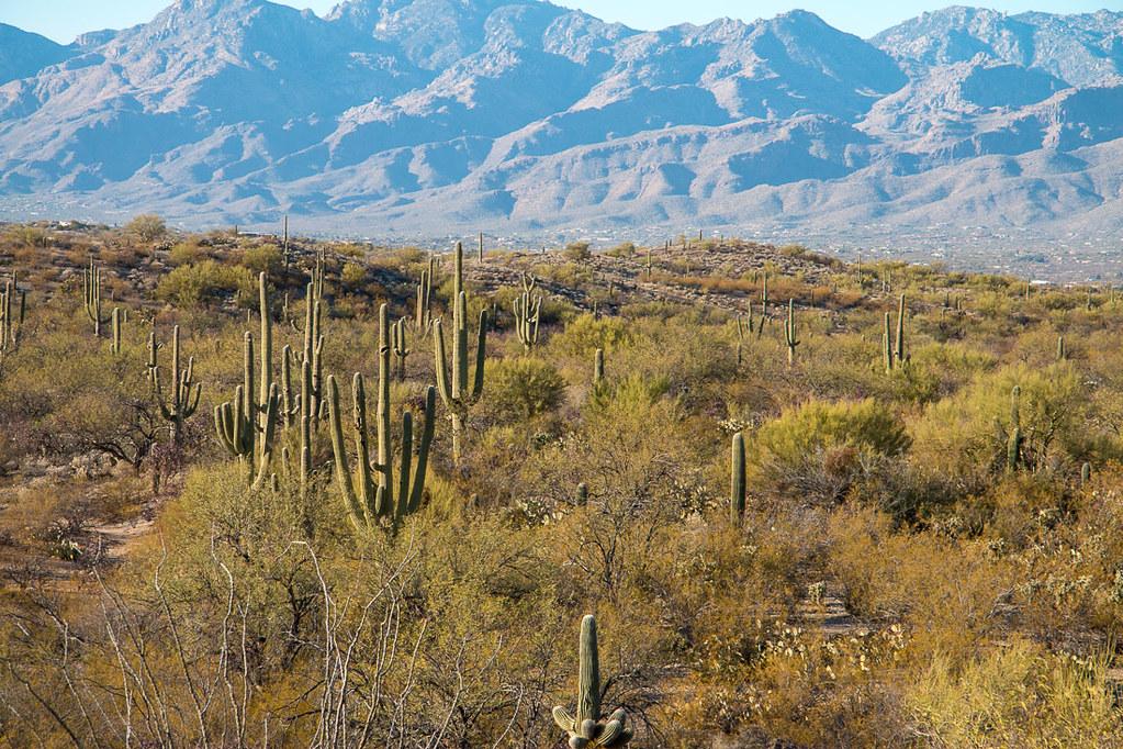 Saguaro Cactus along Cactus Forest Drive