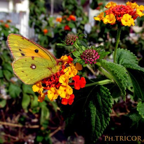 Non c'è farfalla che non trovi un fiore.-There is no butterfly that can not find a flower.