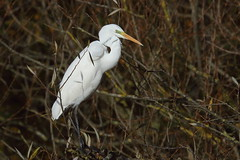 Herons, Egrets, Spoonbills and Ibis