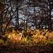 Fiery ferny bracken at NT Alderley Edge