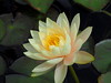 Photo:Water lily Nymphaea 'Inner Light' By Greg Peterson in Japan