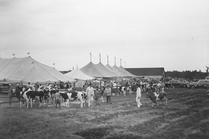 Cattle Show Goshen Fair