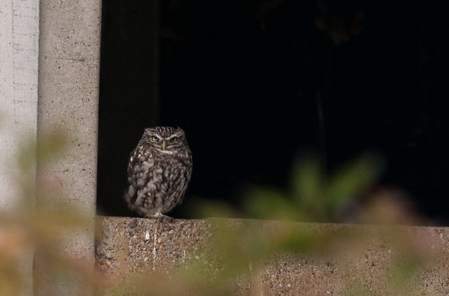 Little Owl  -  Elmley, Nikon D300S, AF-S Nikkor 300mm f/4D IF-ED
