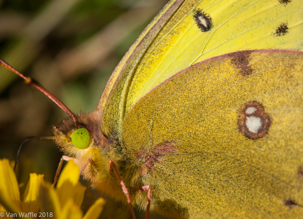 Colias philodice, smoky sulphur male