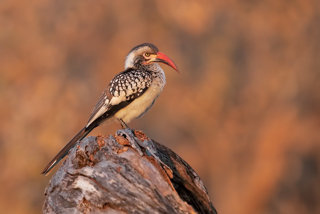 Southern Red-billed Hornbill, Canon EOS 5D MARK IV, Canon EF 500mm f/4L IS II USM