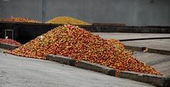 Cormeilles - La distillerie Busnel - Pommes au lavage
