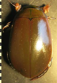 Megadytes (Megadytes) steinheili (Wehncke, 1876:359). Male, habitus, dorsal.