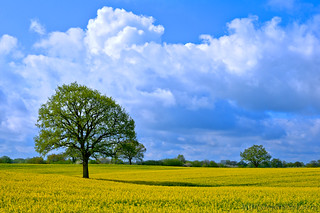 Baum in einem Rapsfeld bei Aschebrg