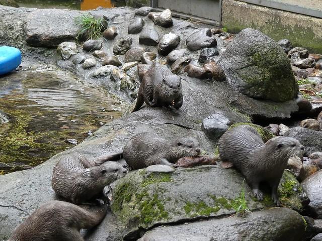 Zwergotter, Tierpark Neumünster