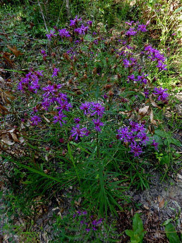 blackwaterriverstateforest coldwatercreekhorsetrail ironweed vernoniaangustifolia