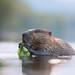 North American beaver  - Castor du Canada - Castor canadensis by Maxime Legare-Vezina