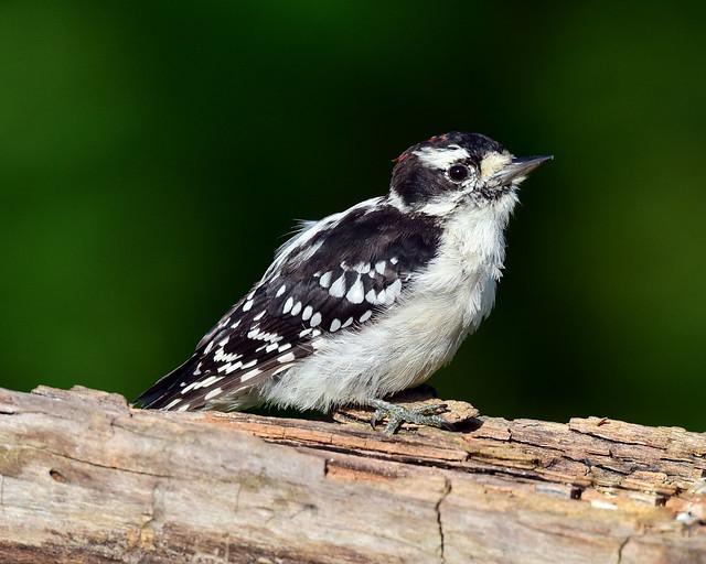 Downy Woodpecker- Explored 10-06-18, Nikon D810, AF-S VR Nikkor 500mm f/4G ED