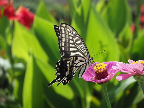 アゲハチョウ | Swallowtail butterfly