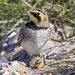 (188) Bird - Shore Lark - Kessingland Sluice