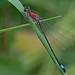 Ischnura elegans - Common Bluetail (female form rufescens)