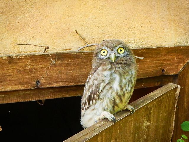 Little Owl, Nikon COOLPIX AW110