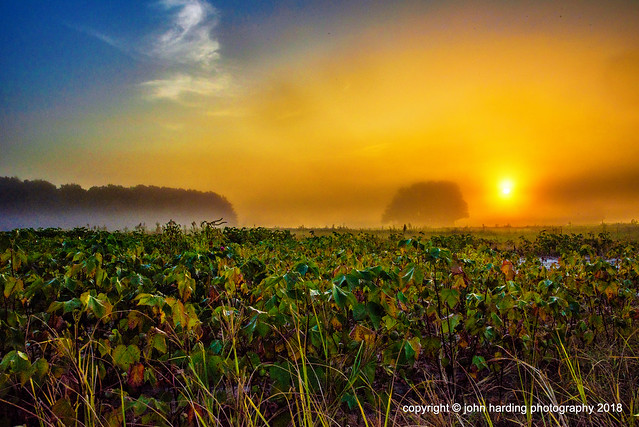 Morning Fog In The Cotton Field