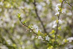 spring blossom with swirly bokeh