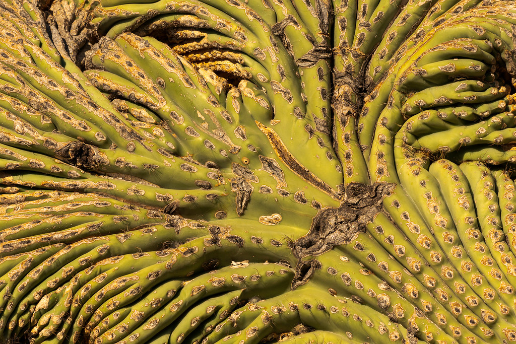 A close-up view of one of the crests of a double crested saguaro along the Coyote Canyon Trail in McDowell Sonoran Preserve