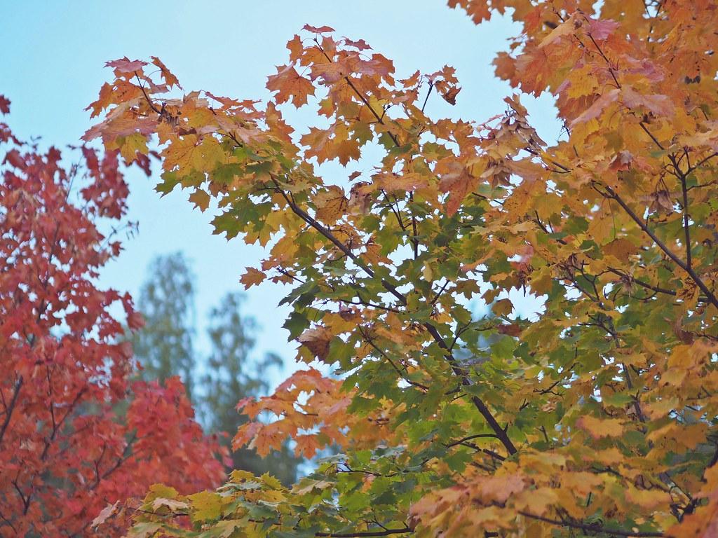 vaahterapuu ruska suomi